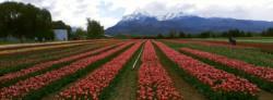 El campo de tulipanes en la zona de Trevelin está siendo una de las principales atracciones en la Cordillera.