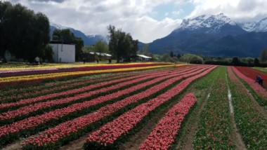 Los tulipanes, uno de los grandes atractivo turístico de Trevelin, reciben vastas visitas turísticas.
