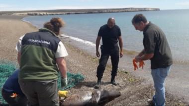 El lobo marino se había enganchado a la red de un pescador artesanal y fue golpeado con un remo .
