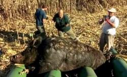 Lo impresionante fue el tamaño de este último animal que pesaba más de 270 kilos.