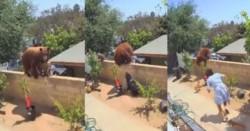 La mujer sale al ver en peligro a sus mascotas y empuja a la osa que cae en el patio de la otra propiedad.