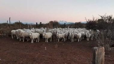 Cinco carneros y tres ovejas fueron confiscados por un robo.