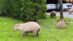 Algunos de estos grandes roedores se apersonaron en la casa que Tinelli posee en Nordelta.