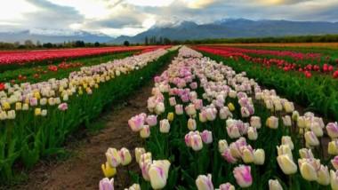 Grandes expectativas en toda la zona de la Cordillera por lo que será la temporada de tulipanes.