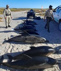 Biólogos comenzaron a investigar los motivos del varamiento. (Foto: Diario Río Negro)