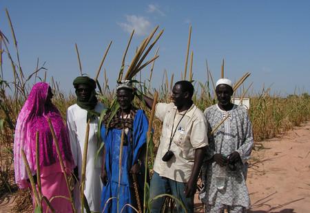 03 waf seed systems pearl millet falwel niger 2 bigh oct 2011