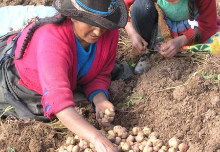 Foto 2 mujer chopcca enseu00f1ando a su hija los  conocimientos de selecciu00f3n y diversidad de papas nativas