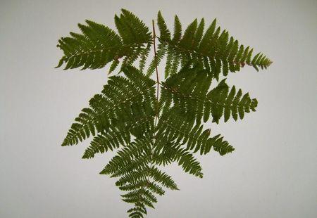 Fern branch texture