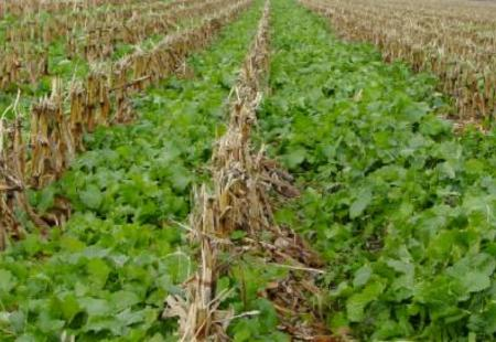 wsb 533x271 turnips