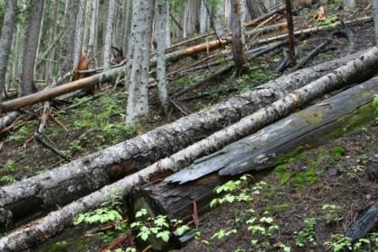 A few fallen logs