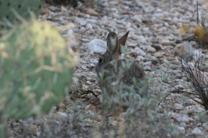 Camera shy cottontail
