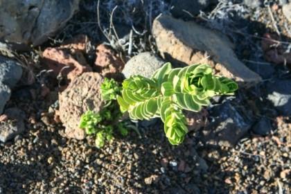 Tenacious little plant