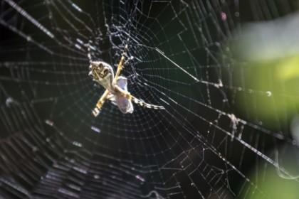 Spider with tasty catch