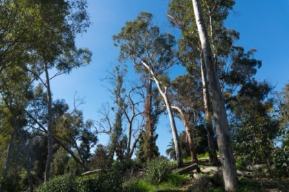 Lots of eucalyptus trees