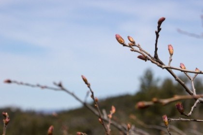 Budding for spring