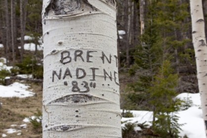 Poor birch tree
