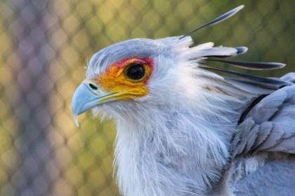 Secretary bird on alert