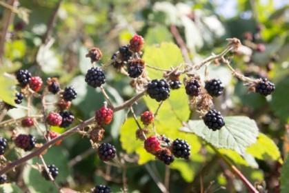 Lots of invasive blackberries