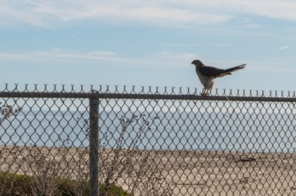 Raptor on the fence