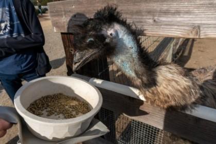 Mmm... emu kibble