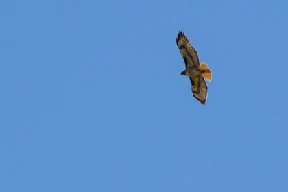 Red-tailed hawk turning around