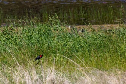 Another red-winged blackbird