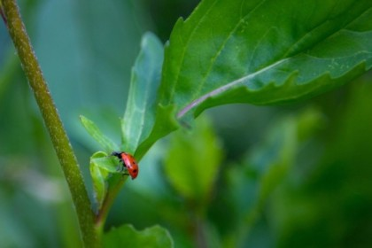 Ladybug on the arugula