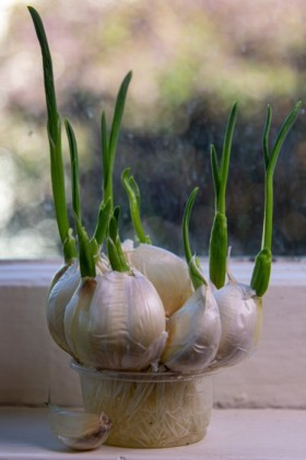 Garlic experiment