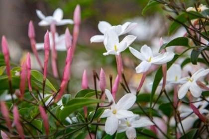 More jasmine
