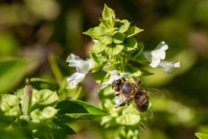 Bee on the basil
