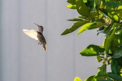 Hummingbird flitting around