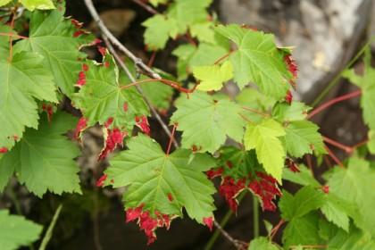 Bloody leaves