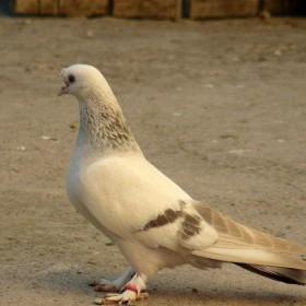 Taklacı Kuş