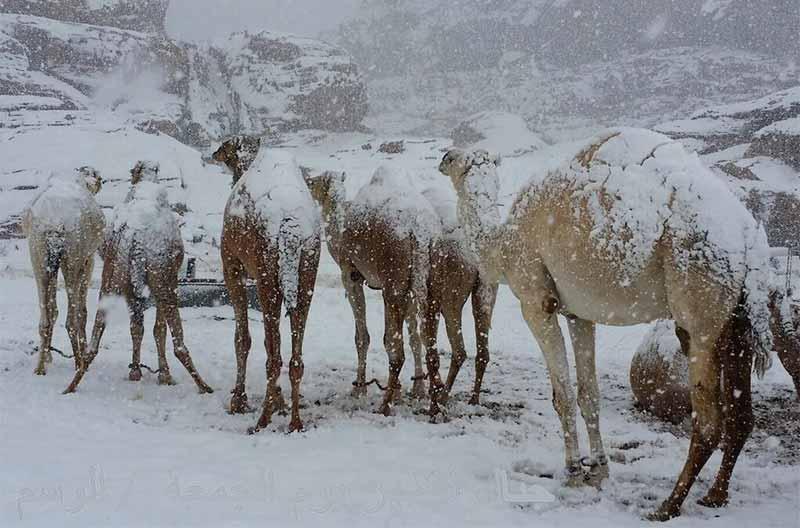 Suudi Arabistan'da yağan kar, zincir takmayan develere zor anlar yaşattı.
