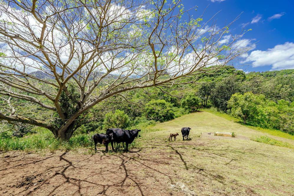 16. cattle in distance 67 290 farrington hwy