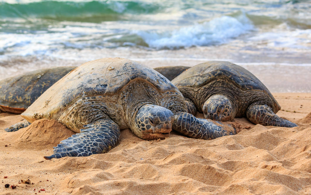 25. sea turtles on north shore beach 67 290 farrington hwy