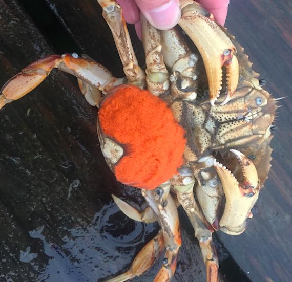 crab-mom