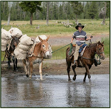 horses and pack mules in yellowstone