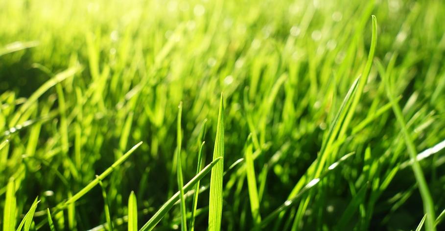 Close up picture of green grass.