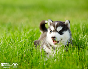 Husky Puppy Relaxing the Backyard of a Newport Rental Property