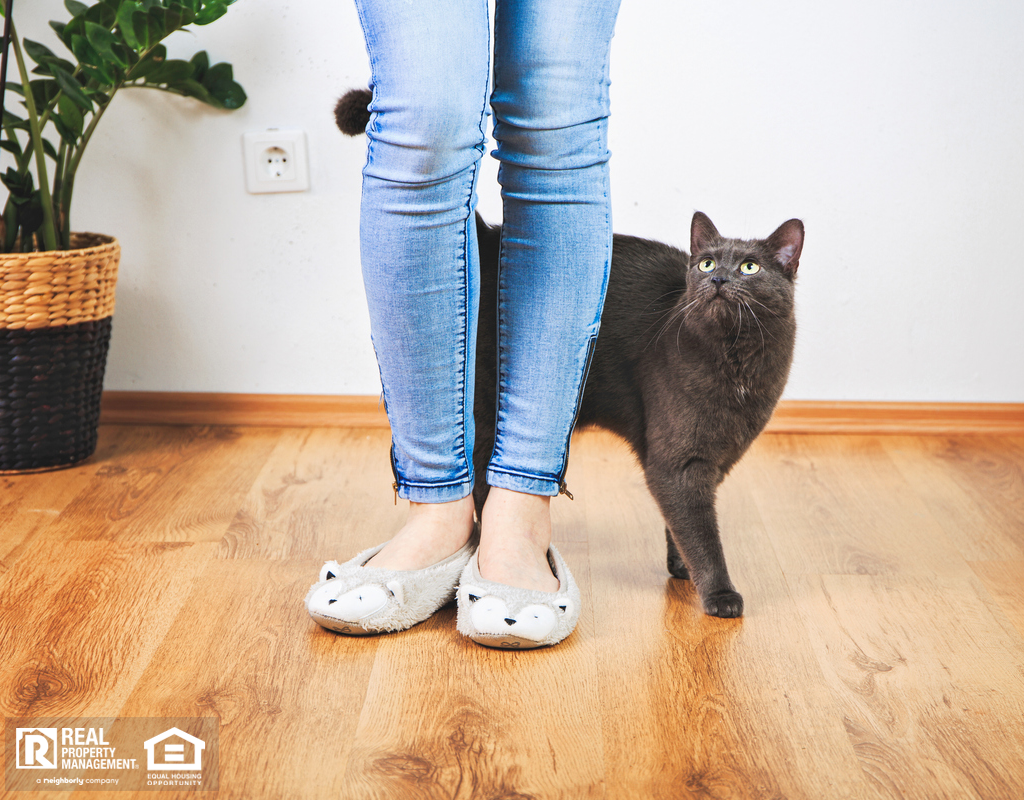 Russian Blue Cat Walking Around the Legs of Their Owner