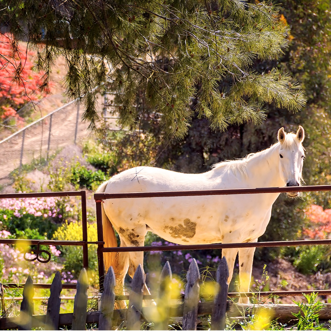 A White Horse in Rural California