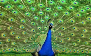 Peacock, HOA, Property Management