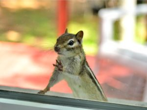 Curious Chipmunk is Peering Through the Window of Your Copper River Rental Property