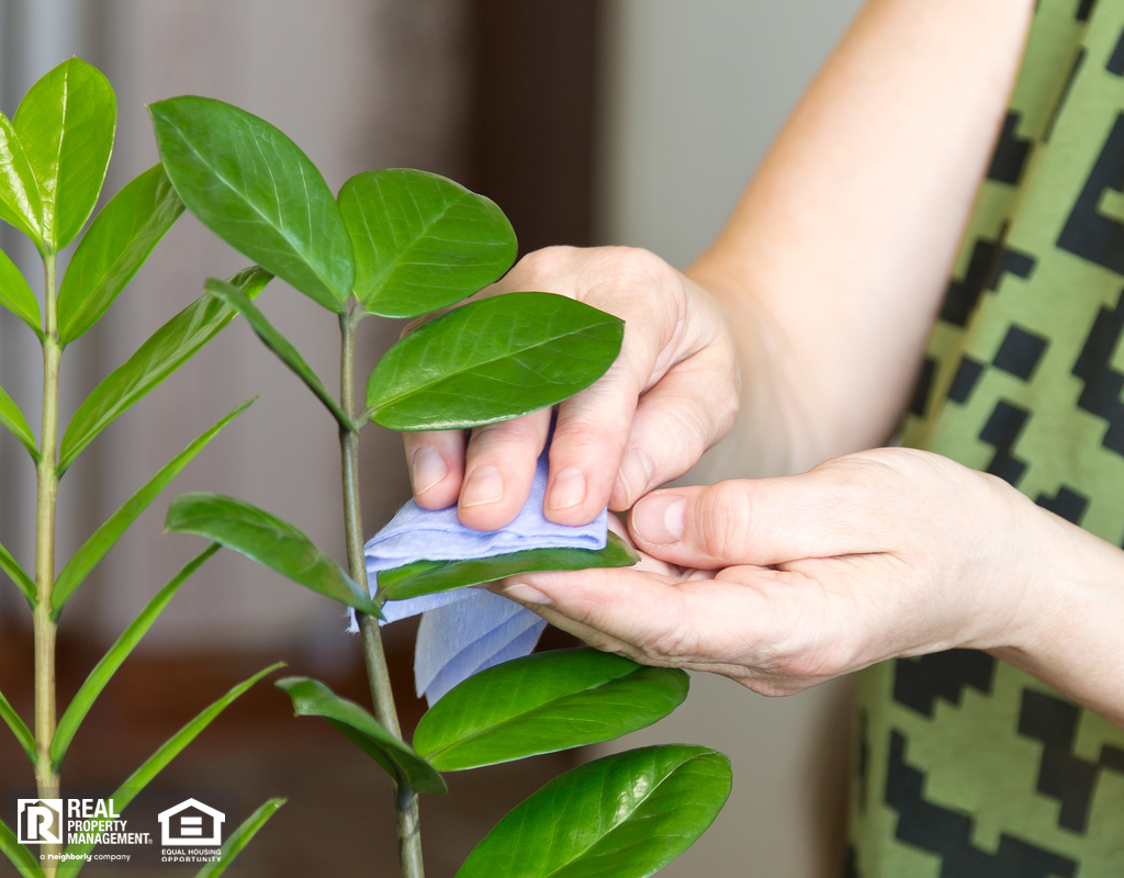 Woman Dusting Leaves of Houseplant with a Microfiber Cloth