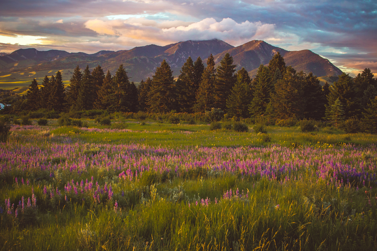 Purple wildflowers by Bridger Mountain