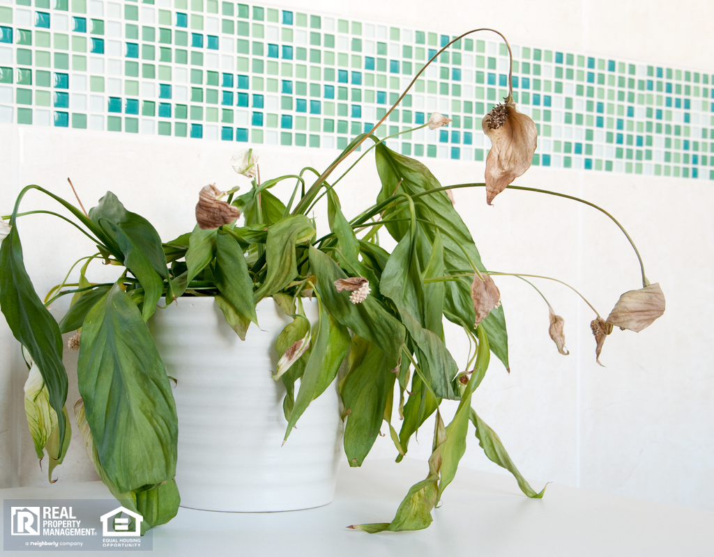 Dead Peace Lily in Greenwood Bathroom