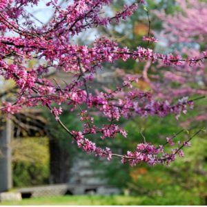 Close up of redbud tree with old cabin in background