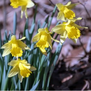 Jonquils, a native flower of Missouri, in full bloom