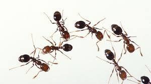 Pest Inspection_Ants